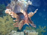 pack of lionfish